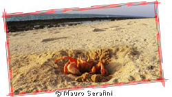 Ghost crab on the desert island in Farasan Banks by Mauro Serafini 
